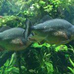 Do Piranhas Live in Saltwater?