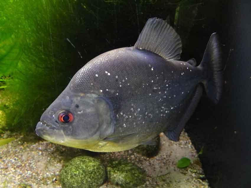 a single black piranha