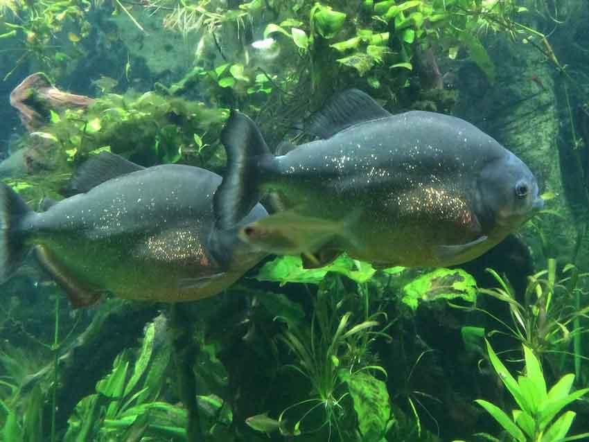 a pair of piranha swimming