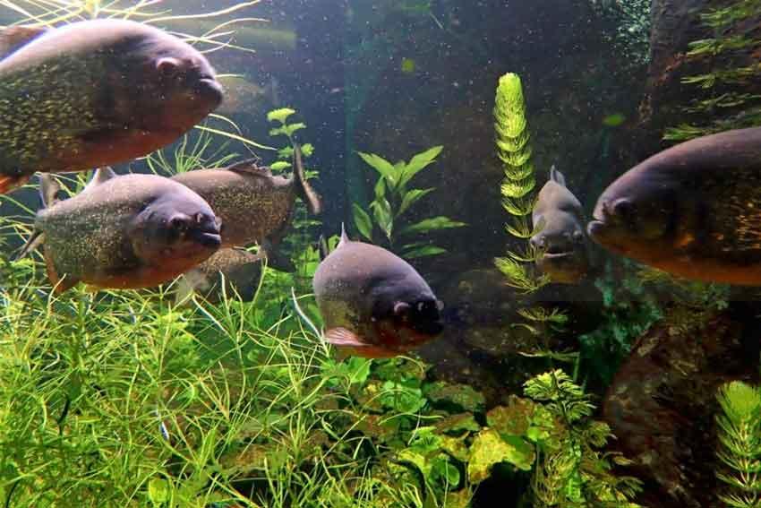 5 piranha around plants