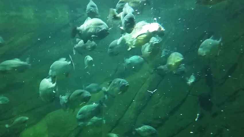 school of piranha swimming