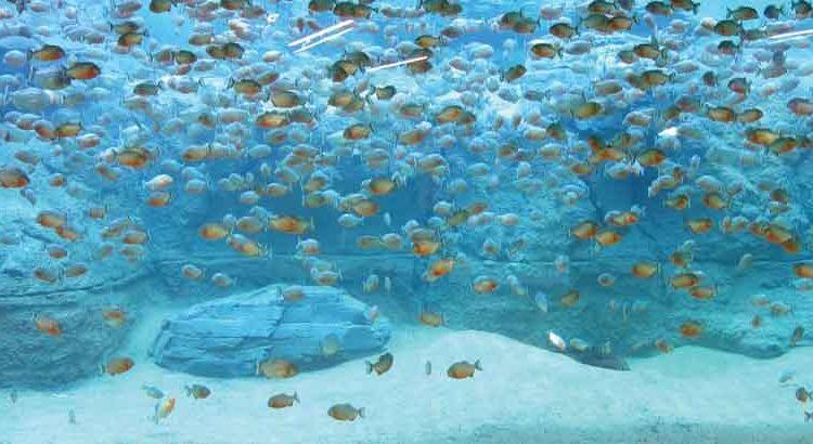 piranha in large aquarium