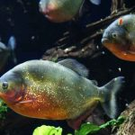 Piranha Eating - Can They Strip Humans and Cows to Bones Within Minutes?