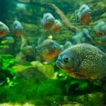 A Documented List Of All Known Piranha Attacks [Piranha Victims]