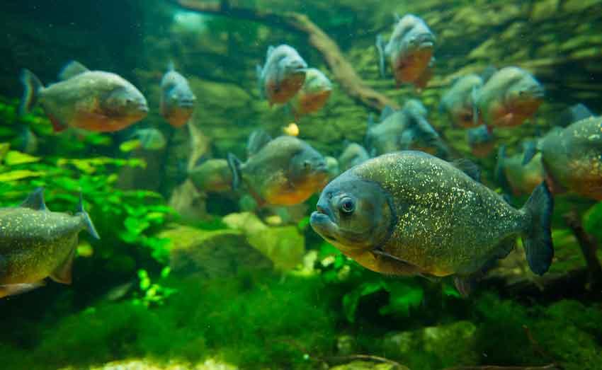 piranhas swimming