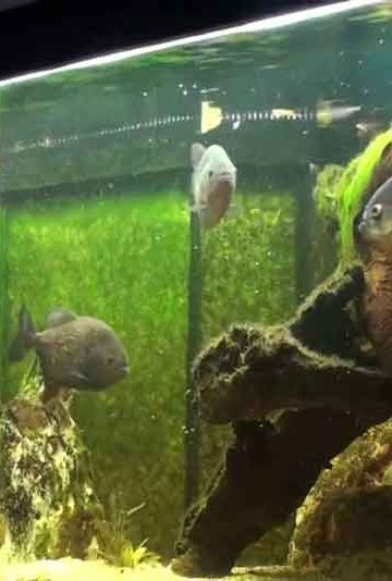 A Piranha Aquarium set up