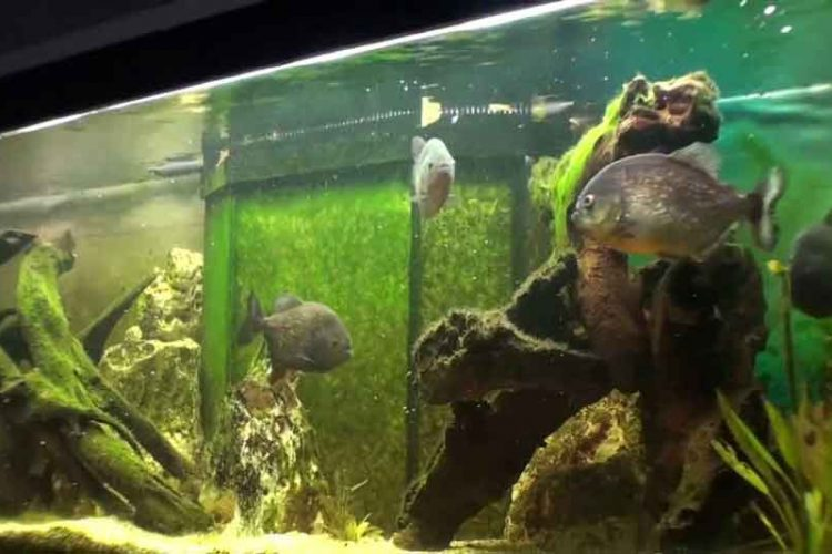 A Piranha Aquarium set up