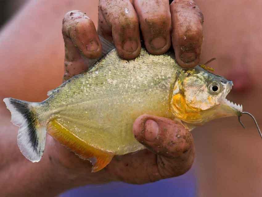 a man holding a white piranha
