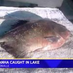 Are There Piranha In The United States?