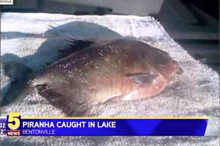 piranha caught in lake