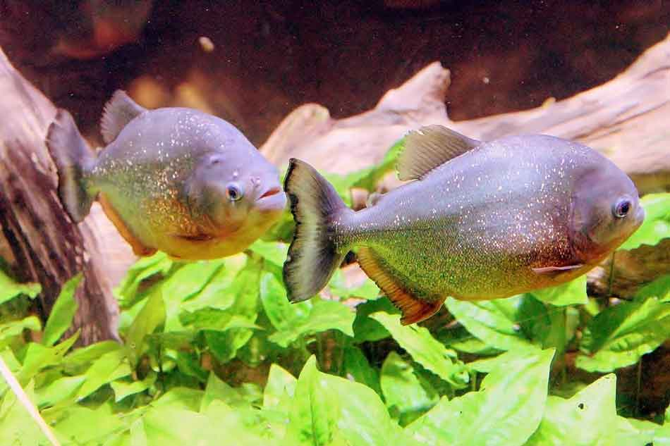2 piranha swimming