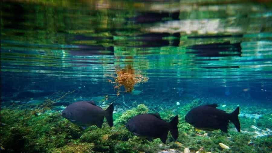 underwater photo 3 piranha