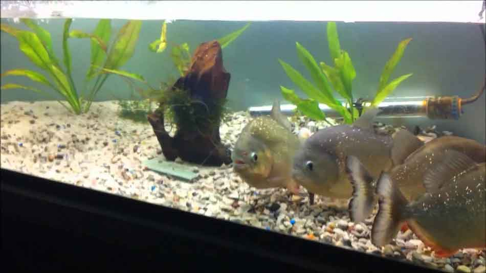 4 red bellied piranha in an aquarium