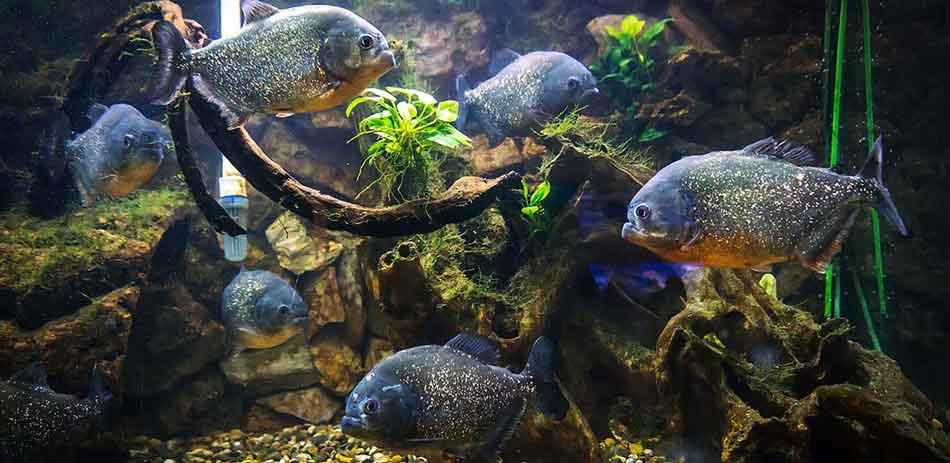 6 piranha in an aquarium