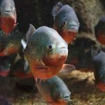 Do You Have To Give Piranhas Live Food?