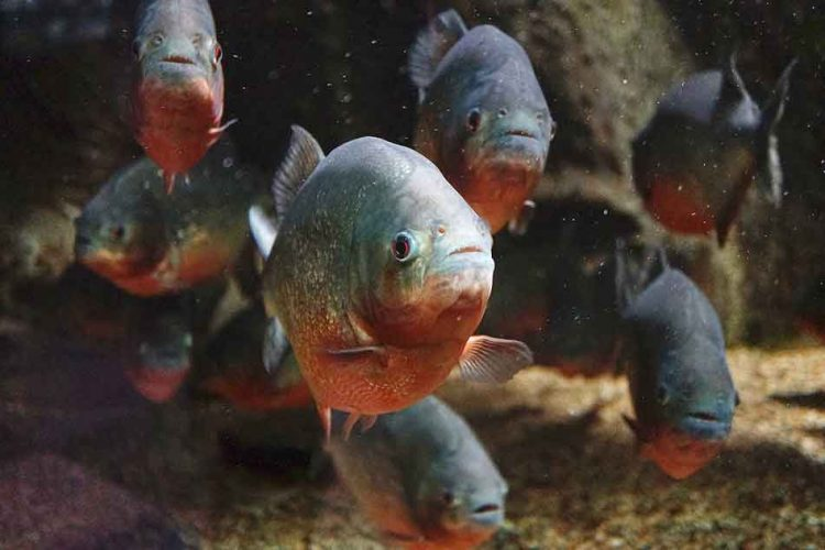 red bellied piranha staring to the front