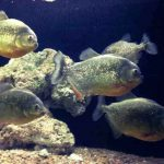 How Much Do Piranha Cost? A Cost Ownership Guide