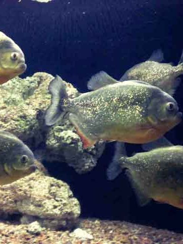 Red Bellied Piranha in an aquarium tank