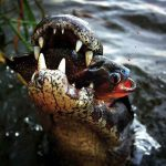 Will Alligators Eat Piranhas?