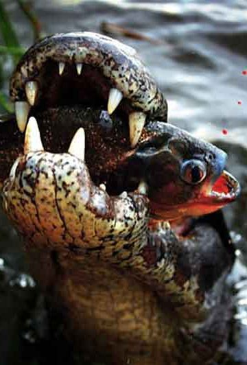 a caiman with a piranha