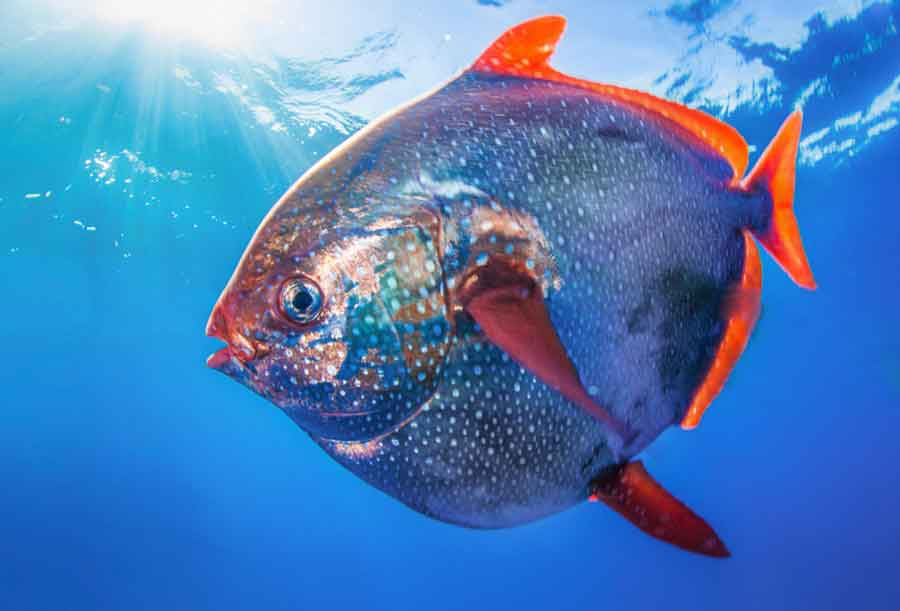 warm blooded opah fish