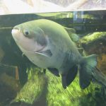 Do Piranhas Jump Out Of The Water?
