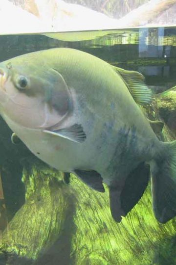 a pacu nearing water surface