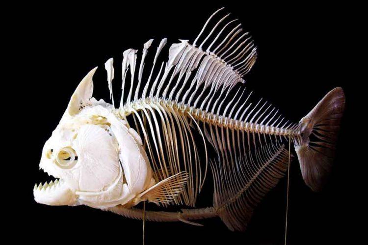 Red-Bellied piranha skeleton