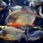Are Piranhas Fast Swimmers?