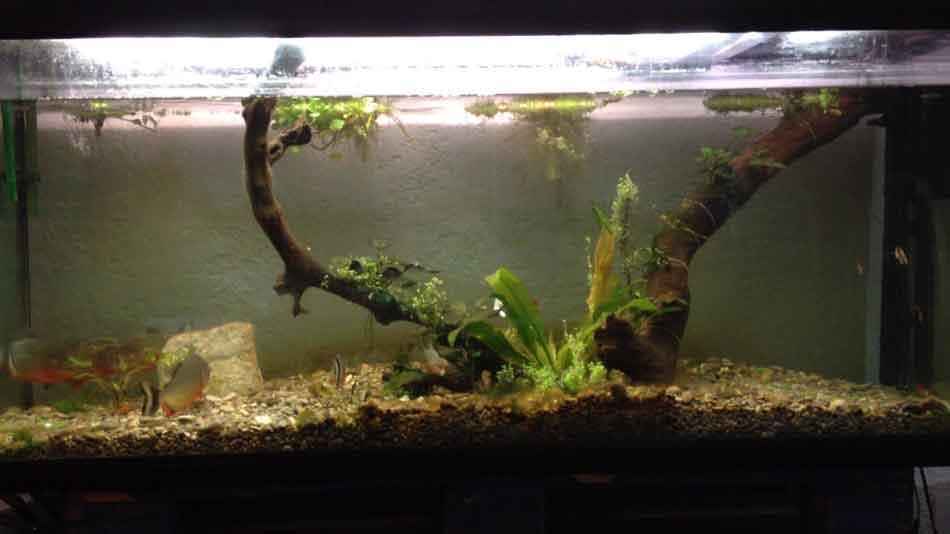 an aquarium 55 gallon 3 red bellied piranha