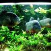 3 red bellied piranha in an aquarium