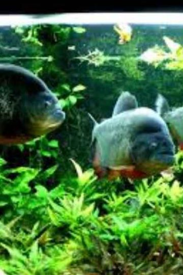 3 red bellied piranha in an aquarium