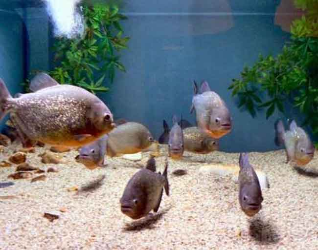 several red bellied piranha