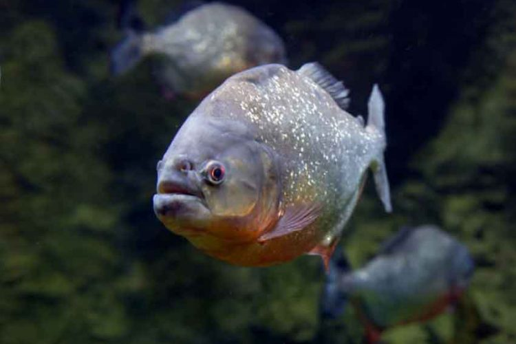 a red bellied piranha face on