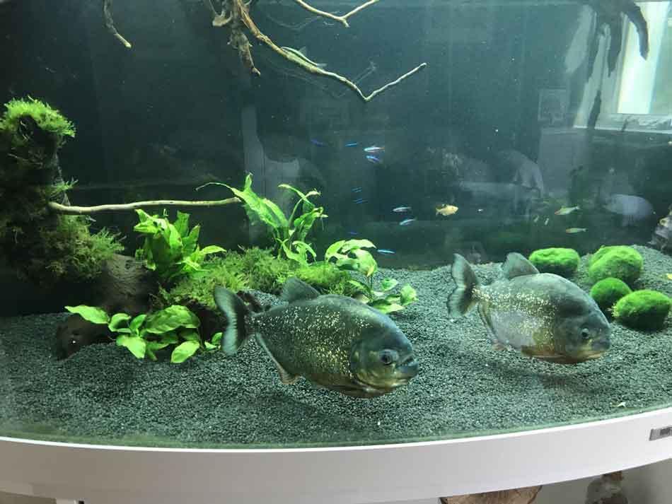 2 red belied piranha on an aquarium bottom