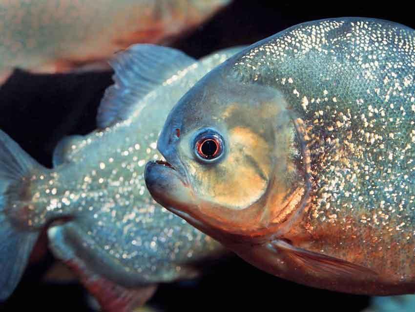Red-Bellied Piranha close up