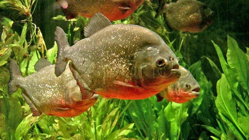 3 Red-Bellied Piranha close up