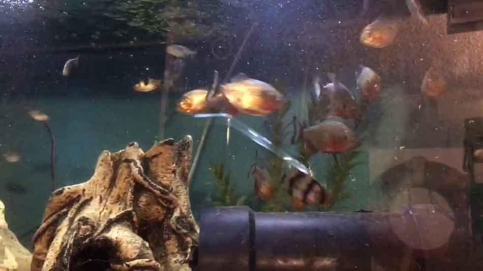small piranha in an aquarium