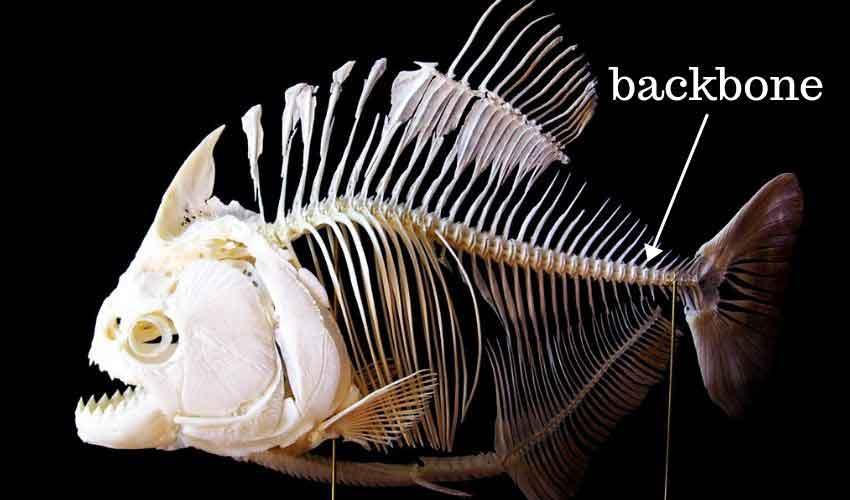 Piranha skeleton backbone