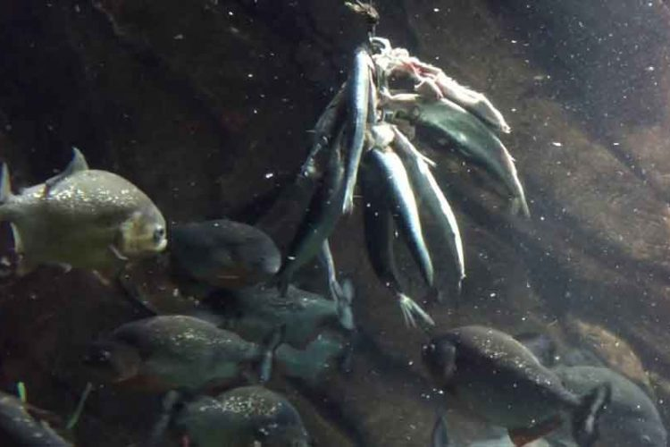 piranha eating aquarium