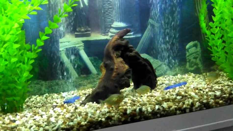 piranha fry in an aquarium