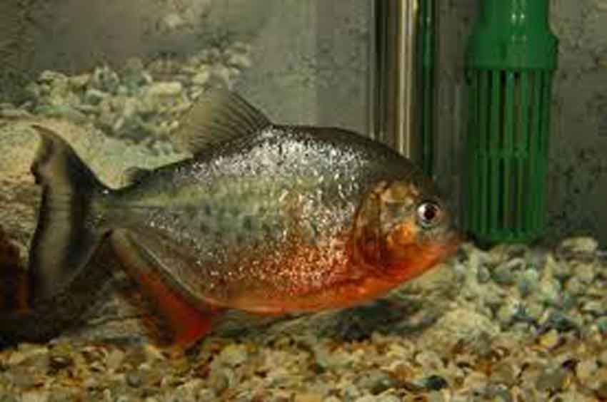 adult red bellied piranha in corner of a tank