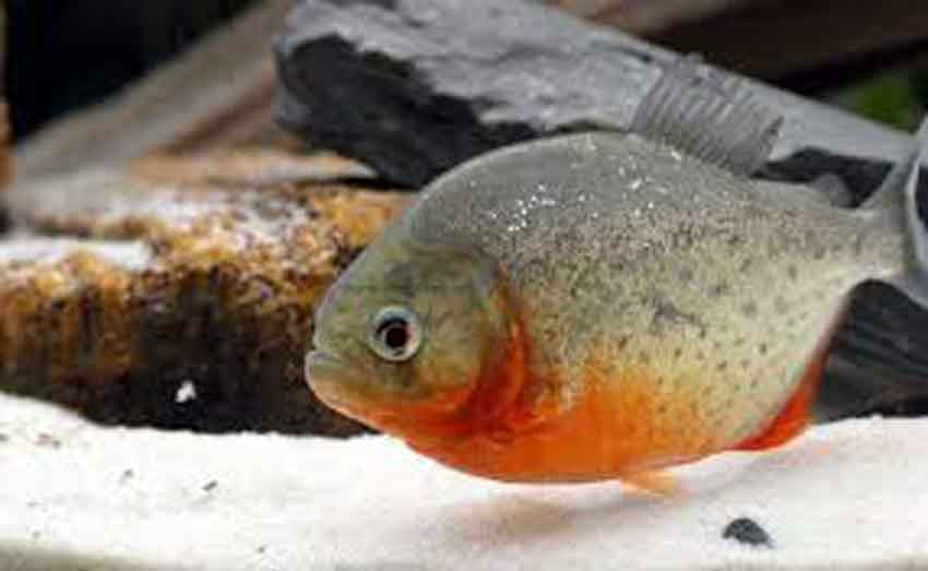 a red bellied piranha
