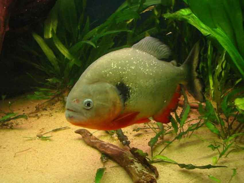 a single piranha swimming
