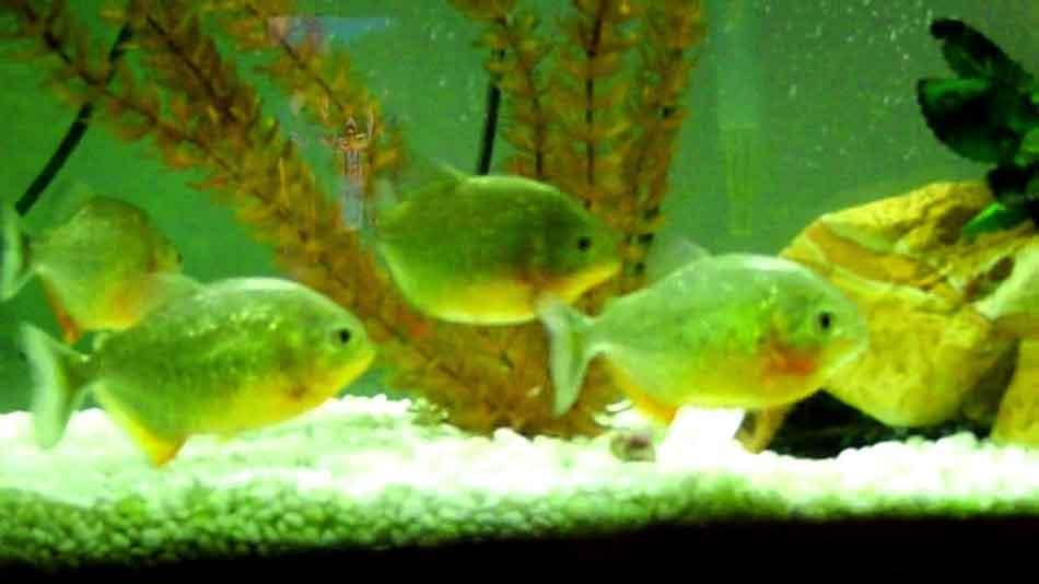 3 red bellied piranha