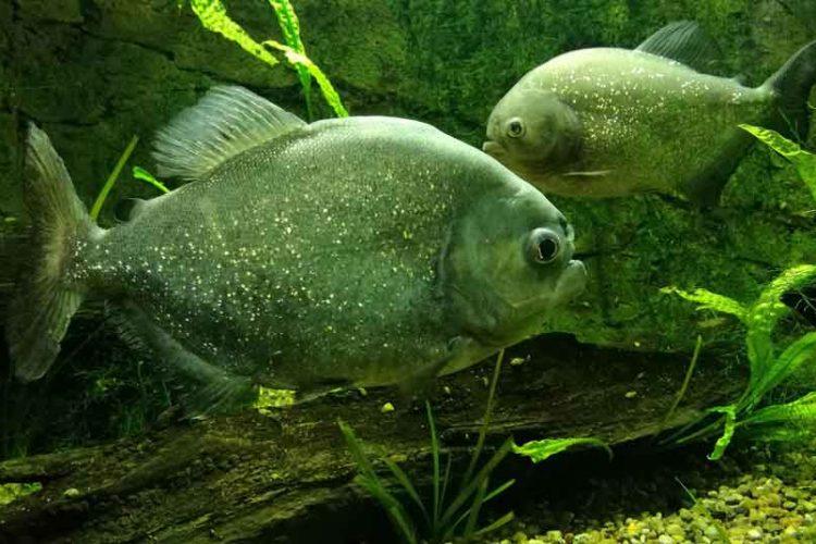 single piranha swimming