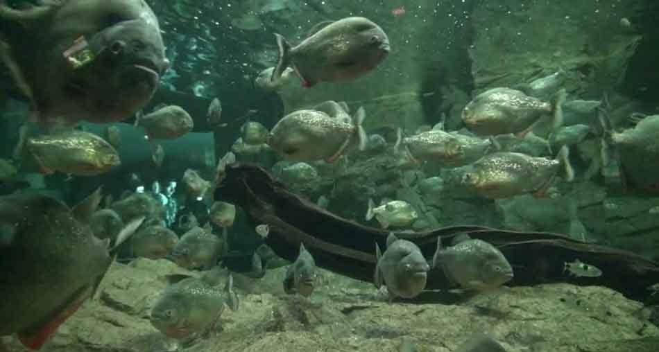 aquarium piranha