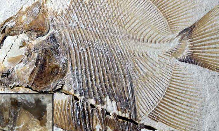 a piranha fossil
