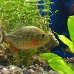 How Fast Will My Piranha Grow?