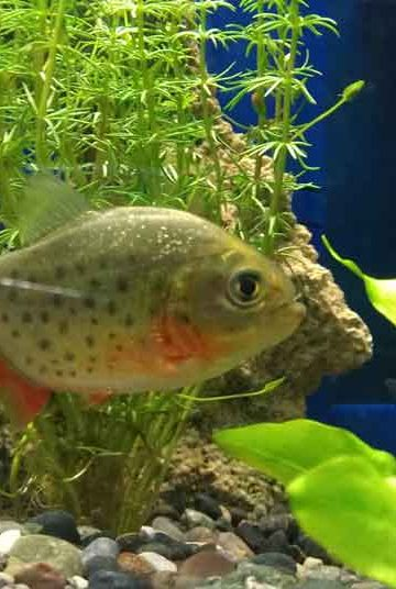 juvenile red bellied Piranha